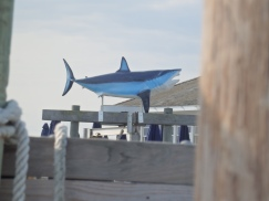 Shark. Bayshore, LI