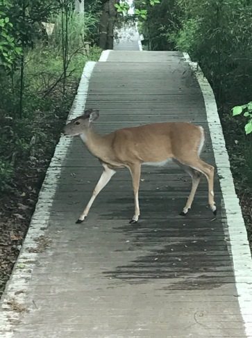 Deer on walkway.