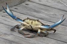 blue crab fighter