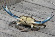 blue crab fighter