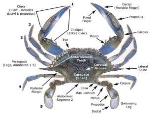 Blue Crab Anatomy.