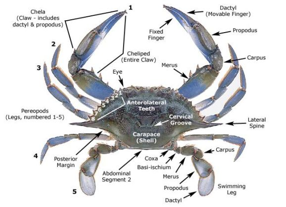 Blue Crab Anatomy.