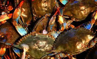 Blue crab bounty at Jersey Shore.
