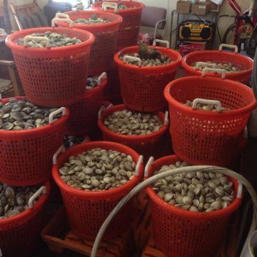 Parsons clam harvest.