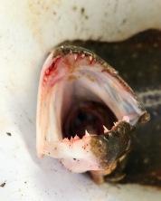 Fluke teeth.