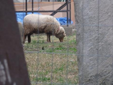 Sheep at Old St. Pat's at San Gennaro.
