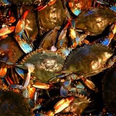 Blue crabs.