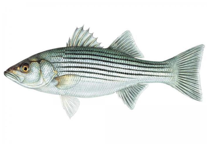 striped_bass_10-25-10