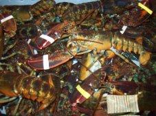 lobster tank