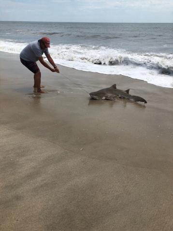 Shark on Fire Island beach