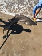 Sand shark off Fire Island