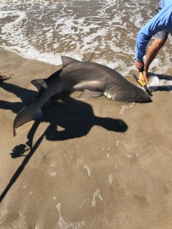 Sand shark off Fire Island