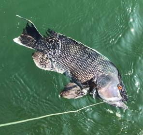 sea bass2